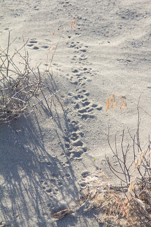 Hanford Reach National Monument, White Bluffs, Wahluke Slope, animal and insect tracks, Columbia Basin, Eastern Washington, Washington State, Pacific Northwest, USA, North America,