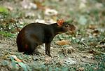 Agouti, Dasyprocta leporina, sitting, rodent.Trinidad....