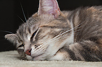 Lucca, a blue patched tabby and white, napping while resting her head on her paw.  I love how her eyes are just a bit open, like she's slowly drifting off to sleep.