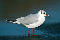 Black-headed Gull Chroicocephalus ridibundus L 35-38cm. Our most numerous medium-sized gull. Plumage variable but white leading edge to outerwings is consistent feature. Forms single-species flocks. Sexes are similar. Adult in summer has grey back and upperwings, white underparts and chocolate-brown hood. Legs and bill are red. In flight, trailing edge of outerwing is black. In winter, loses dark hood; white head has dark smudges above behind eye. Juvenile has orange-brown flush to upperparts, dark feathers on back, dark smudges on head, and dark tip to tail. Acquires adult plumage by 2nd winter through successive moults. 1st winter bird retains many juvenile plumage details but loses rufous elements and gains grey back. 1st summer bird still has juvenile-type wing pattern but gains dark hood. Voice Raucous calls include a nasal kaurrr. Status Widespread and numerous. Commonest on coasts and inland freshwater sites, but also in towns and on farmland; often follows the plough. Nests colonially beside water. Migrants from Europe boost winter numbers