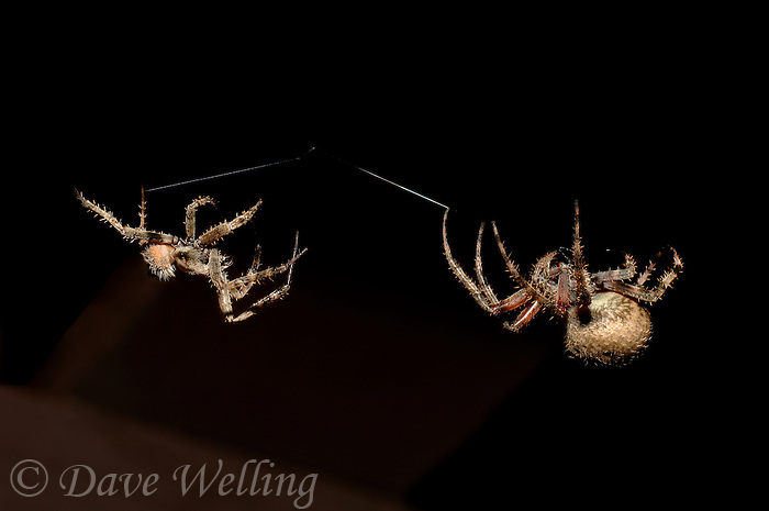 37000038 wild male and female orb weaver spiders  araneaus ssp on spider web in southern california