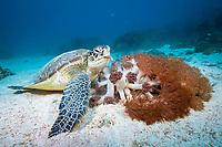 Green Sea Turtle, Chelonia mydas, feeding on soft coral, Komodo National Park, Lesser Sunda Islands, Indonesia, Pacific Ocean