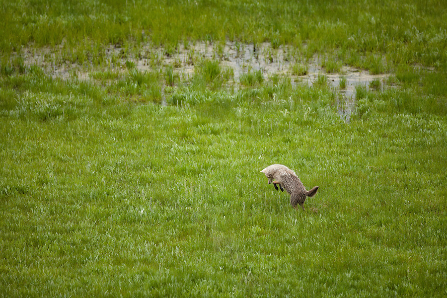 A single coyote pounces on his prey in a grassy plain.