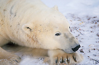 Polar Bear (Ursus maritimus)--adult male resting.