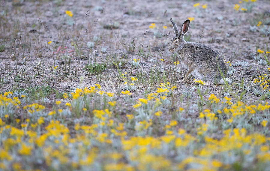 White-tailed jackrabbits are an uncommon sight in Yellowstone.