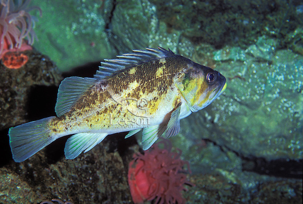 Copper Rockfish..Found in waters along the Pacific coast ranging from Baja, California up to Kehui, Alaska. Common in the waters of British Columbia & Puget Sound..(Sebastes caurinus).