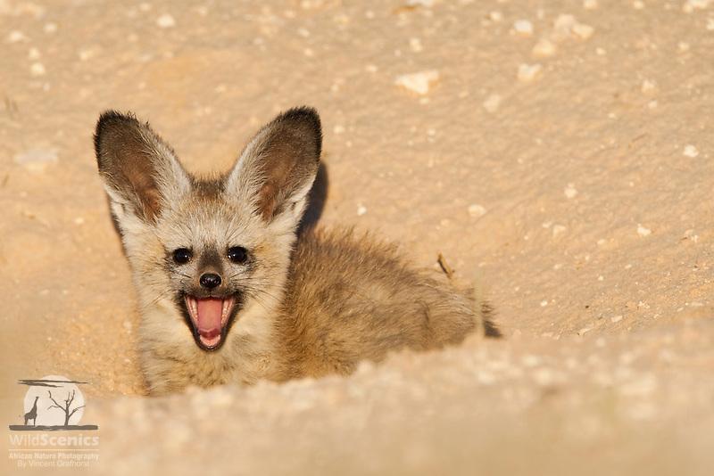 Yawning Bat-eared fox pup in burrow