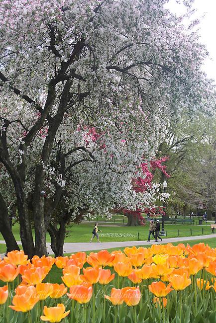 Spring blossoms in the Boston Public Garden, MA