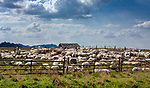 Wypas owiec w okolicy Sromowców Wyżnich