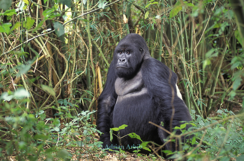 A silverback gorilla in the Parc Des Volcans in Rwanda.  .