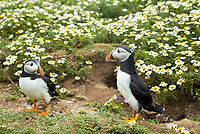 Pair of Puffin - pelagic seabird, Fratercula, by nest on land in breeding season on Skomer, National Nature Reserve, South Wales