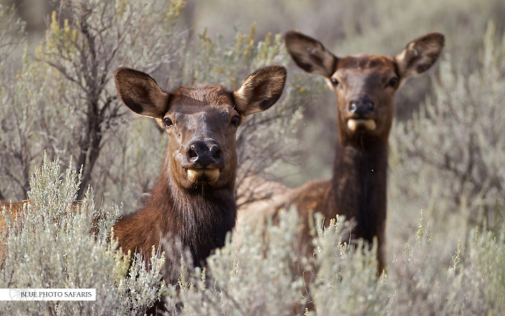 Cow elk in sagebrush