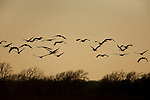 Sandhill cranes take flight in the evening on the Lissie Prairie.