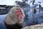 Japanese Macaque, Macaca, fuscata, adult bathing in hot spring water, Jigokudani National Park, Nagano, Honshu, Asia, primates, old world monkeys, snow, macaques, behavior, onsen, red face, steam, .Japan....