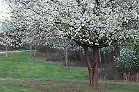 Stock photo: Cherry blossom tree fully bloomed in a park in spring in Georgia USA.