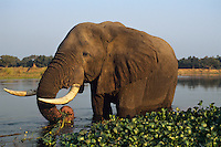 African Elephant bull feeding. (Loxodonta Africana)  Africa.