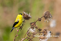 01640-16506 American Goldfinch (Spinus tristis) male eating seeds at thistle plant Marion Co. IL