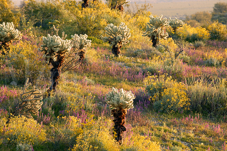 Wildflowers near Alamo Lake State Park, Arizona