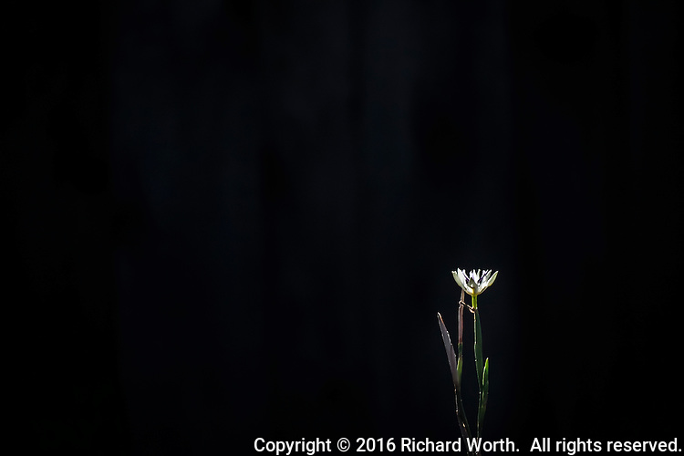 A single white flower, backlit against a dark background with copy space left and above.