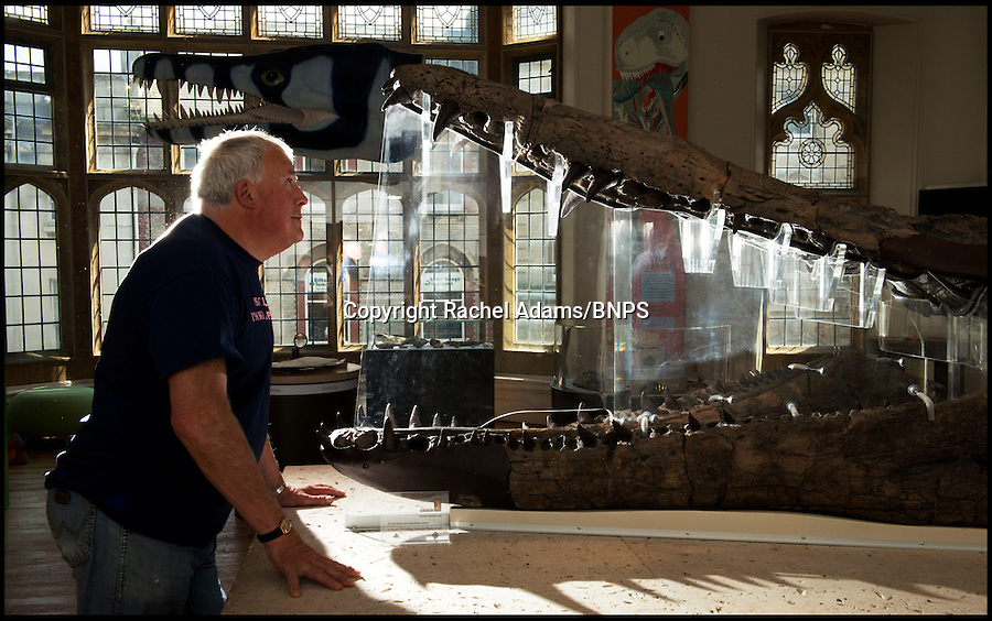 BNPS.co.uk (01202 558833)<br /> Pic: Rachel Adams/BNPS<br /> <br /> Kevan Sheehan with the pliosaur that is on display at Dorset County Museum, Dorchester.<br /> <br /> British scientists have identified a new species of a huge pre-historic sea monster and have named it after the fossil hunter who found it - Kevan. The fossilised remains of the 8.5ft long jaw from a 60ft long pliosaur. was four times more powerful than a Tyrannosaurus Rex. Experts pieced the 25 parts together that were painstakingly unearthed over five years by Kevan Sheehan (68), near his Osmington home, in Weymouth, Dorset. Although a handful of pliosaur specimens have been found before, Kevan's beast has been identified as a new species that was bigger and stronger than its cousins. Scientists have now named it Pliosaurus kevani.