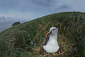 A grey-headed albatross sitting on a nest in the tussock grass at Diego Ramirez Island.