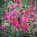"Fuchsia 'Enfant Prodigue', mid October. ""A large and vigorous hardy fuchsia with long, leafy stems that gently arch over under the sheer weight of flowers. Carried in looose clusters, pointed bright-red buds hang gracefully before splitting open, splaying the four red sepals horizontally to reveal a fat, rich, velvety purple skirt of unfurling petals. The male stamens and the long female pistil, both identical in colour to the sepals, protrude prominently from the centre making an exquisite shape. Free-flowering right until the first frosts, rich in colour, and refined with great poise, this is a cut above the rest... Bred in 1887 by Lemoine in France."" [Fergus Garrett, Great Dixter, Nurseryman's Favourites, Gardens Illustrated magazine, October 2013]"
