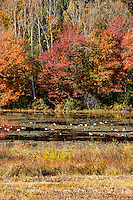 Canadian geese with autumn foliage, Connecticut, CT, USA