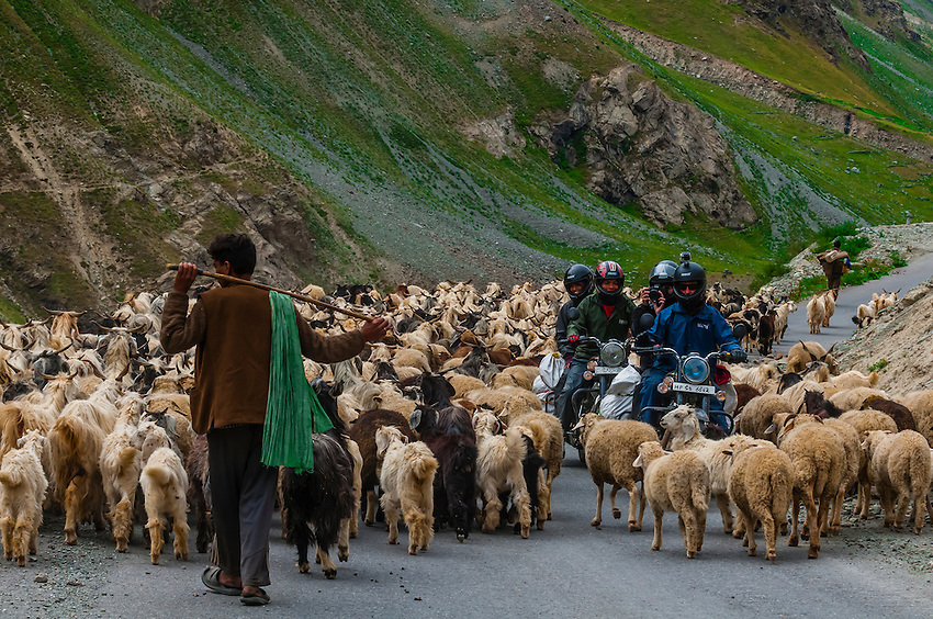 Motorcyclists riding through a herd of Sheep and goats , Leh-Manali Highway, Himachal Pradesh, India.