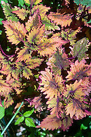 Solenostemon coleus for Hort Couture, Smallwood Driveway, annual foliage plant with ornamental leaves