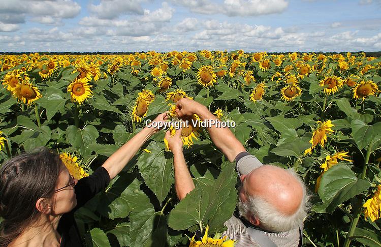 Foto: VidiPhoto..MANTINGE - Peter Govers en Ina Eleveld uit Mantinge (Drenthe) inspecteren donderdag de rijpheid van de zonnebloempitten op hun 3 hectare grote biologische zonnebloemakker. Dankzij zonnebloemen als voedsel voor hun melkgeiten, produceert de biologisch-dynamische geitenboerderij Hansketien, de meest bijzondere geitenkaas van Nederland. Voor zover bekend voegen Govers en Eleveld als enige geitenboeren de zonnebloemen toe aan het voedsel voor hun melkgeiten. Behalve extra vitaminen, zorgen de aanwezige oliën in de zonnebloemen voor extra smaak en verhoogd vetgehalte aan de Grie (feta)..