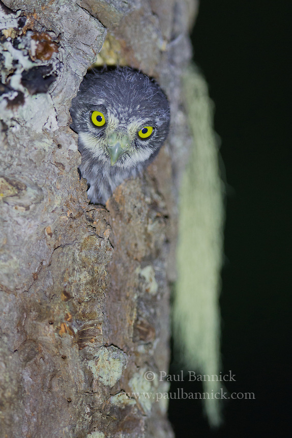 A Northern Pygmy-Owl nestling, five days before fledging, peers from the nest cavity for the first time.