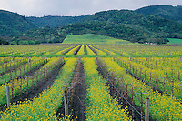 Mustard in vineyard<br />