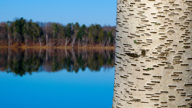 A birtch tree stands along a placid Serpent Lake near Deerwood, Minnesota in November.