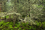 Spruce-fir forest at the summit of Mount Mitchell