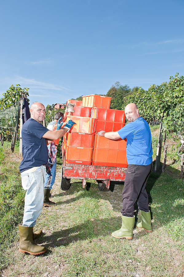 Switzerland, Ticino, Mendrisio, Grape harvest, Vineyards, September 2011