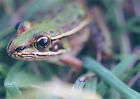 Leopard Frog, Md.