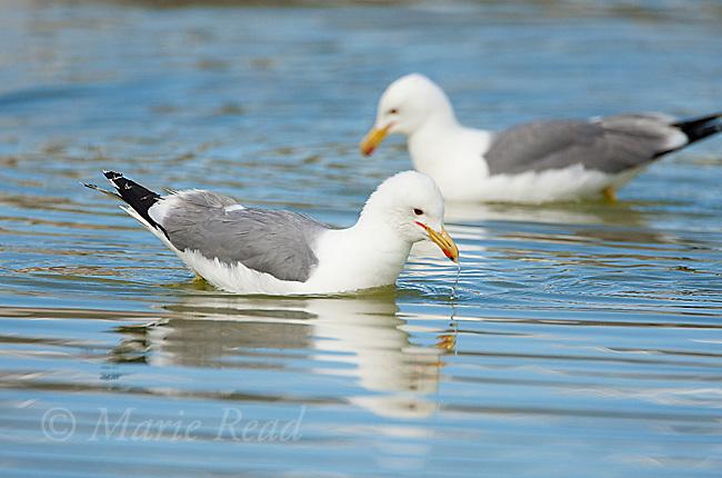 California Gulls(Larus californicus) two foraging for brine shrimp while swimming, Mono Lake, California, USA