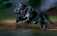 A Black Labrador Retriever dog in mid-air blurred motion as it jumps into water.