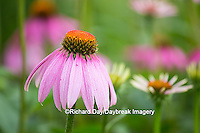 63821-22918 Purple Coneflowers (Echinacea purpurea) Marion Co., IL