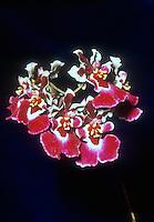 Rodricidium = Rodrumnia Phyllis 'Robsan II', HCC/AOS orchid intergeneric hybrid (Rodricidium = Rodrumnia Beauty Spots x Oncidium= Tolumnia Phyllis Hetfield)