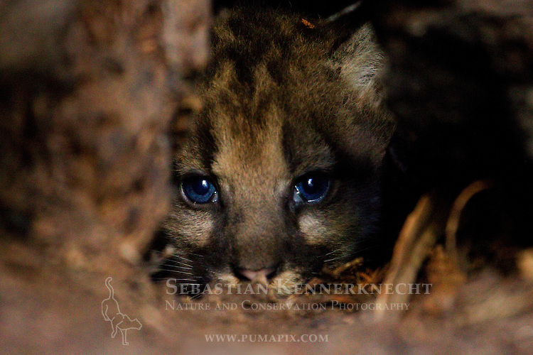 Mountain Lion (Puma concolor) six weeks old female cub hiding in den, Santa Cruz Puma Project, Santa Cruz, Monterey Bay, California