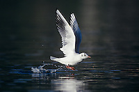 Black-headed Gull, Larus ridibundus, adult winter plumage taking off, Oberaegeri, Switzerland, Europe