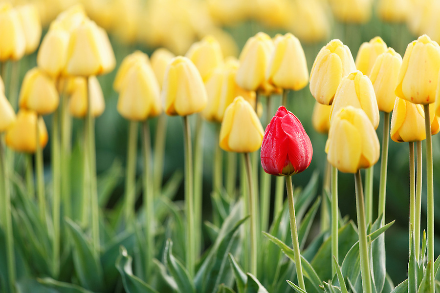 A single red tulip amongst a field of yellow tulips, Mount Vernon, Skagit Valley, Skagit County, Washington, USA