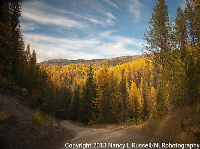 Golden tamaracks along Myrtle Creek Rd in north Idaho