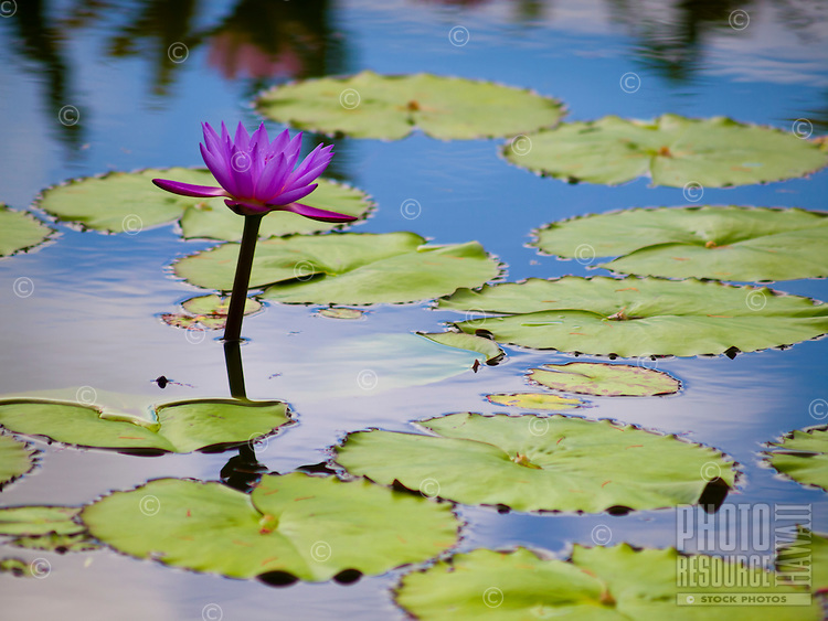 A purple water lily surrounded by lily pad leaves in a large pond, Hilo, Big Island.