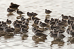 Ding Darling National Wildlife Refuge, Sanibel Island, Florida; a flock of Dunlin shorebirds standing in shallow water, lit by the afternoon sun
