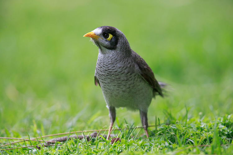 Noisy Miner (Manorina melanocephala melanocephala) foraging in the grass in Rymill Park in Adelaide, South Australia.