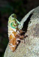 A cicada emerges from its old exoskeleton.