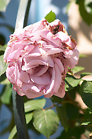 Roses in the garden, in faded violet Clos des Iles Le Brusc Six Fours Cote d'Azur Var France
