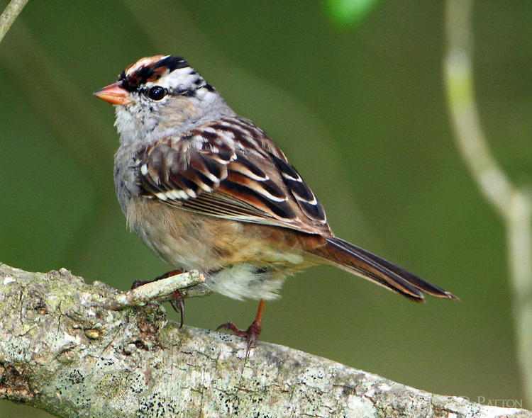 White-crowned sparrow molting to adult plumage